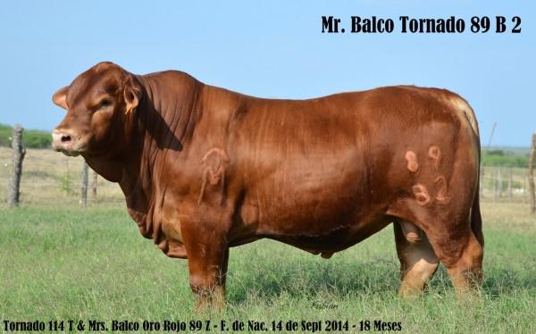 toro brangus rojo 2 -89 B 2
