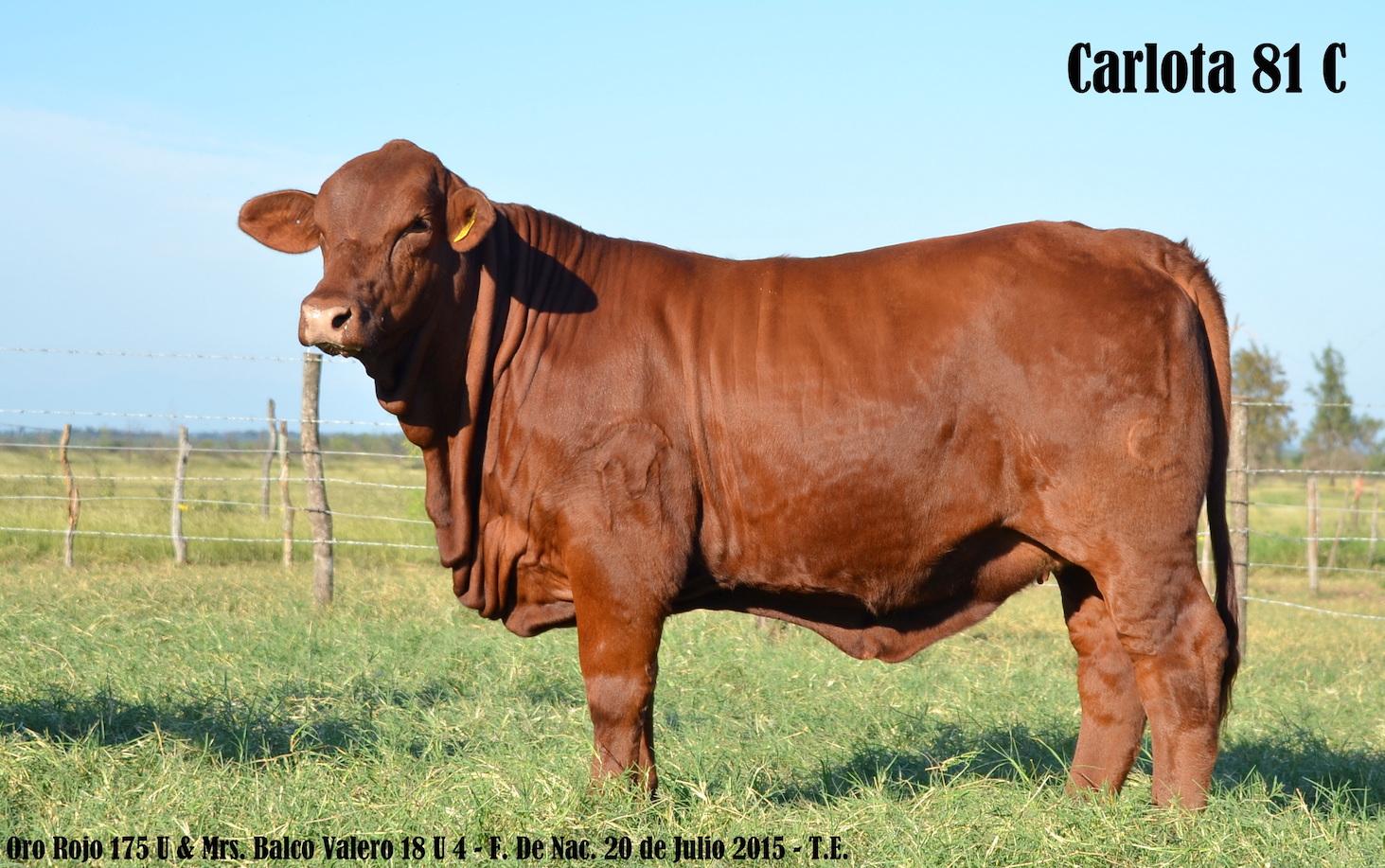 Vaca Brangus Rojo Carlota 81 C