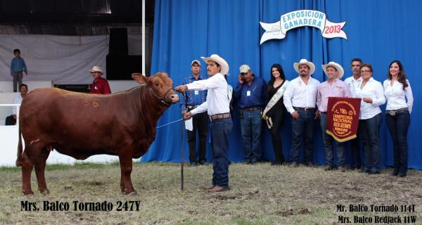 vaca brangus rojo Mrs. Balco Tornado 247Y